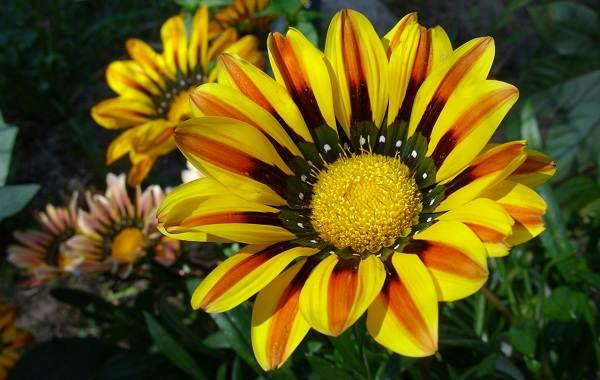 Гацания-цветок-Выращивание-и-уход-8