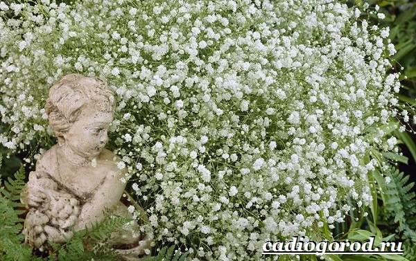 Гипсофила-цветок-Выращивание-гипсофилы-Уход-за-гипсофилой-4