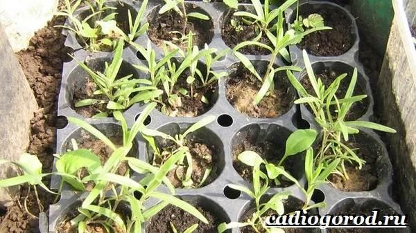 Гипсофила-цветок-Выращивание-гипсофилы-Уход-за-гипсофилой-5