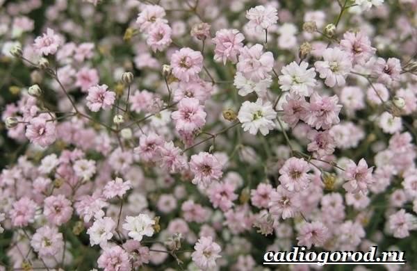 Гипсофила-цветок-Выращивание-гипсофилы-Уход-за-гипсофилой-7