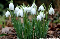 Подснежник цветок. Описание, особенности, виды и защита подснежников