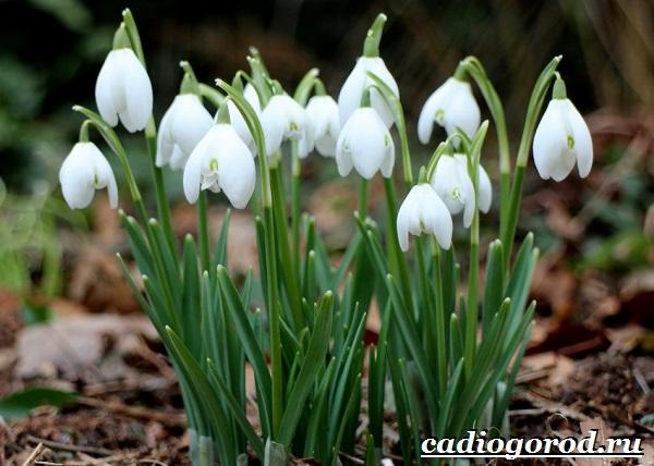 Подснежник-цветок-Описание-особенности-виды-и-защита-подснежников-2