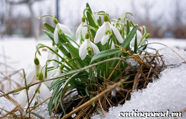 Подснежник-цветок-Описание-особенности-виды-и-защита-подснежников