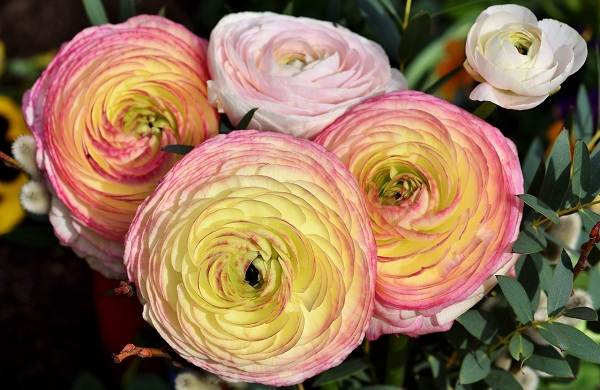 Ранункулюс-цвек-Выращивание-ранункулюса-Уход-за-ранункулюсом-10