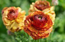 Ранункулюс цветок. Выращивание ранункулюса. Уход за ранункулюсом