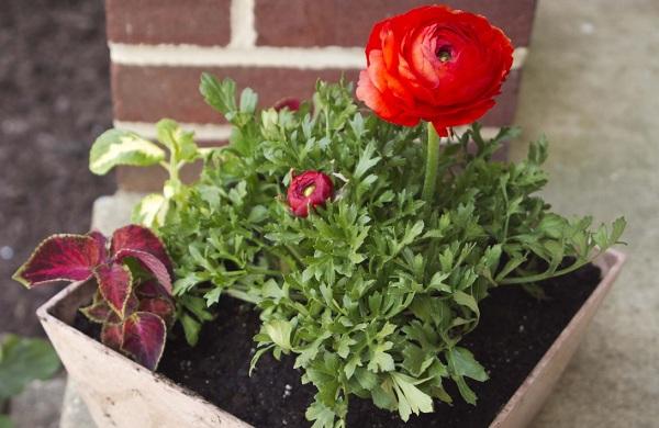 Ранункулюс-цветок-Выращивание-ранункулюса-Уход-за-ранункулюсом-19