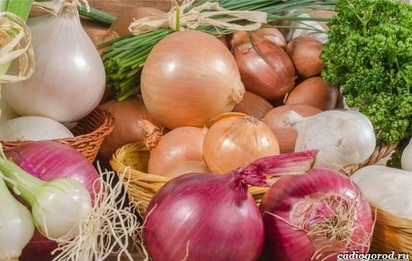 Выращивание-лука-Как-и-когда-сажать-лук-1