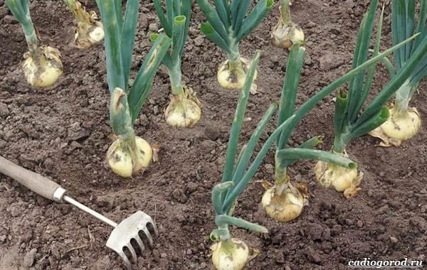 Выращивание-лука-Как-и-когда-сажать-лук-10