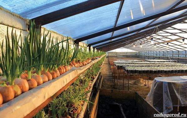 Выращивание-лука-Как-и-когда-сажать-лук-11