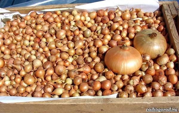 Выращивание-лука-Как-и-когда-сажать-лук-2