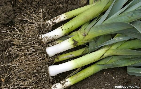 Выращивание-лука-Как-и-когда-сажать-лук-3