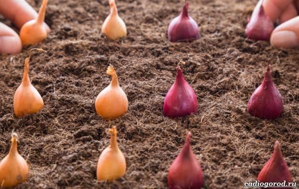 Выращивание-лука-Как-и-когда-сажать-лук-5
