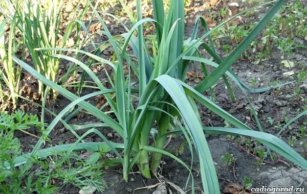 Выращивание-лука-Как-и-когда-сажать-лук-8