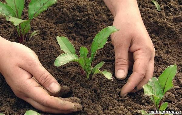 Выращивание-свеклы-Как-и-когда-сажать-свеклу-3