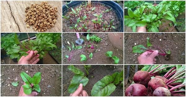 Выращивание-свеклы-Как-и-когда-сажать-свеклу-4