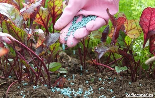 Выращивание-свеклы-Как-и-когда-сажать-свеклу-5