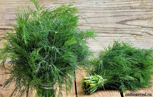 Выращивание-укропа-Как-и-когда-сажать-укроп-1