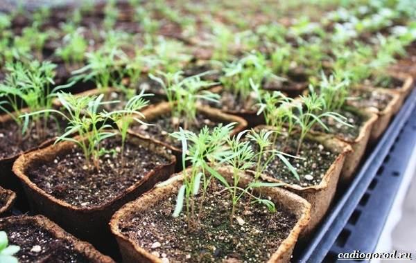 Выращивание-укропа-Как-и-когда-сажать-укроп-2
