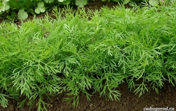 Выращивание-укропа-Как-и-когда-сажать-укроп-4