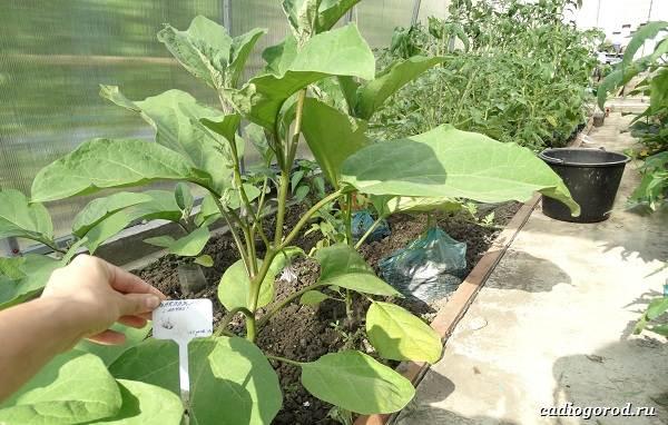 Выращивание-баклажанов-Как-и-когда-сажать-баклажаны-6