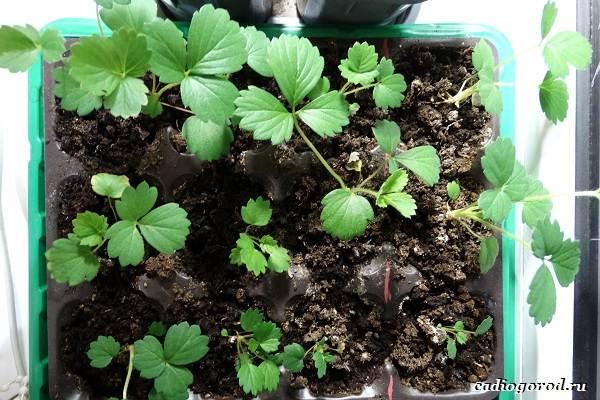Выращивание-клубники-Как-и-когда-сажать-клубнику-Уход-за-клубникой-18
