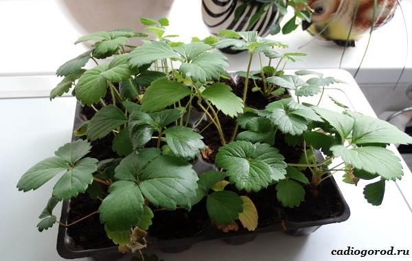 Выращивание-клубники-Как-и-когда-сажать-клубнику-Уход-за-клубникой-20