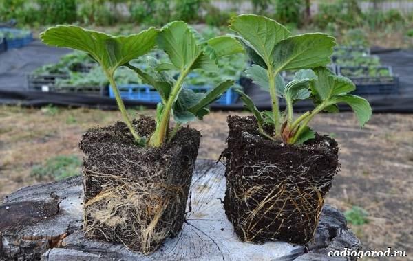 Выращивание-клубники-Как-и-когда-сажать-клубнику-Уход-за-клубникой-22-1