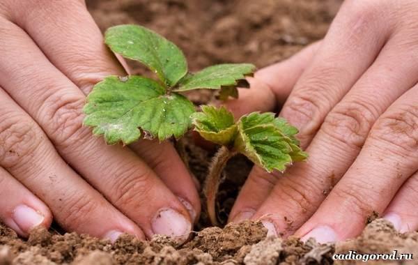 Выращивание-клубники-Как-и-когда-сажать-клубнику-Уход-за-клубникой-26-1