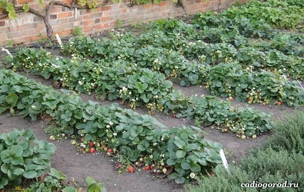 Выращивание-клубники-Как-и-когда-сажать-клубнику-Уход-за-клубникой-28