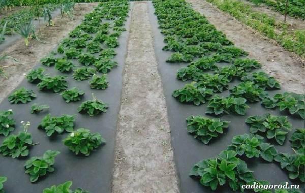 Выращивание-клубники-Как-и-когда-сажать-клубнику-Уход-за-клубникой-29
