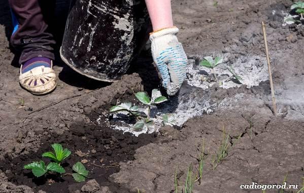 Выращивание-клубники-Как-и-когда-сажать-клубнику-Уход-за-клубникой-30