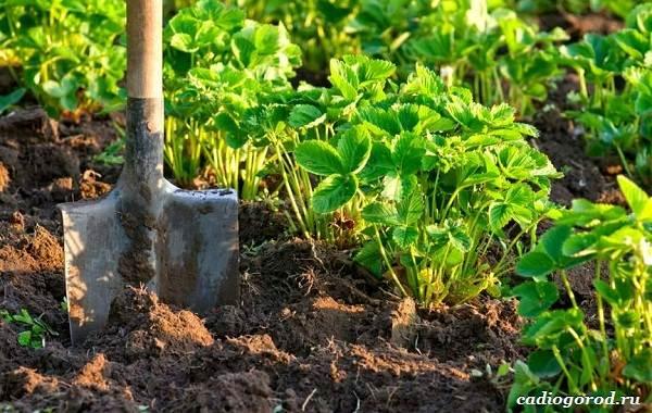 Выращивание-клубники-Как-и-когда-сажать-клубнику-Уход-за-клубникой-32