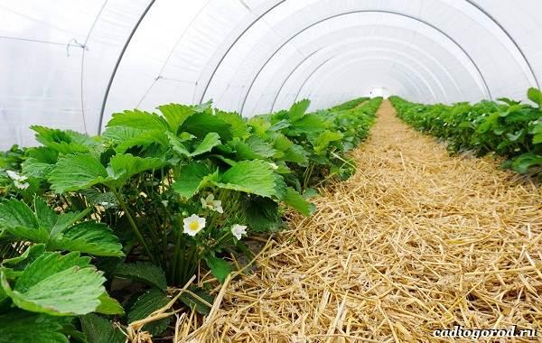 Выращивание-клубники-Как-и-когда-сажать-клубнику-Уход-за-клубникой-33