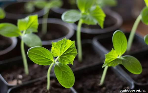 Выращивание-огурцов-Как-и-когда-сажать-огурцы-Уход-за-огурцами-16