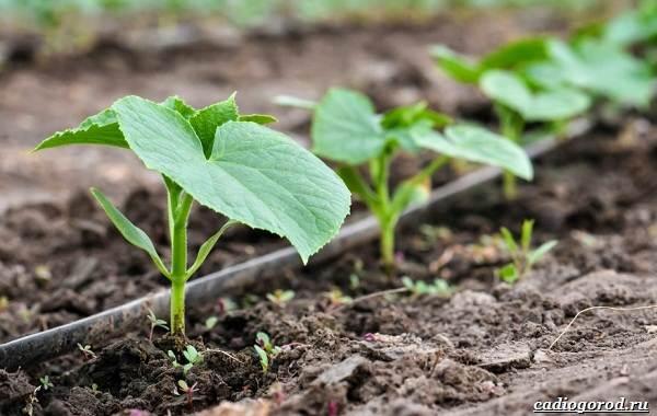 Выращивание-огурцов-Как-и-когда-сажать-огурцы-Уход-за-огурцами-18