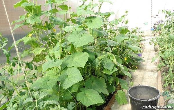 Выращивание-огурцов-Как-и-когда-сажать-огурцы-Уход-за-огурцами-23