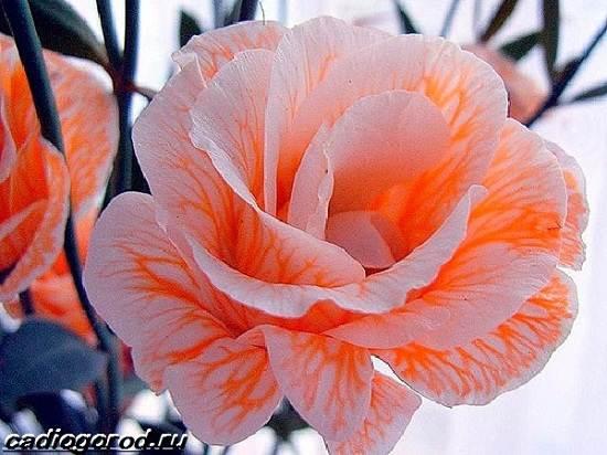 Эустома-цветок-Выращивание-эустомы-Уход-за-эустомой-4