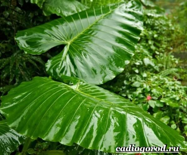 Алоказия-цветок-Выращивание-алоказии-Уход-за-алоказией-10