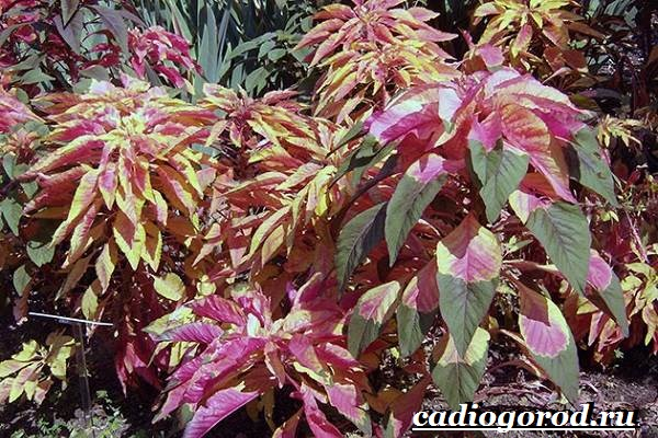Амарант-растение-Выращивание-амаранта-Уход-за-амарантом-11
