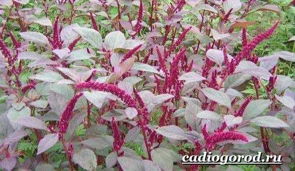 Амарант-растение-Выращивание-амаранта-Уход-за-амарантом-28