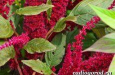 Амарант растение. Выращивание амаранта. Уход за амарантом