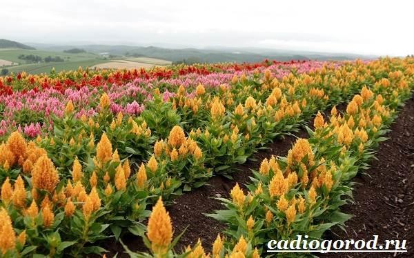 Амарант-растение-Выращивание-амаранта-Уход-за-амарантом-6