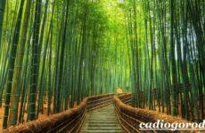 Бамбук растение. Выращивание бамбука. Уход за бамбуком