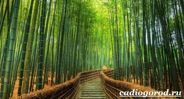 Бамбук-растение-Выращивание-бамбука-Уход-за-бамбуком-1