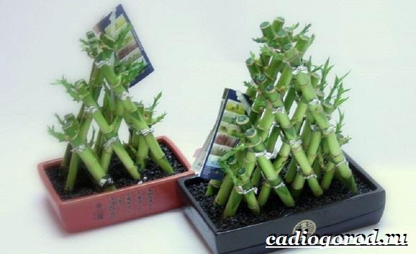 Бамбук-растение-Выращивание-бамбука-Уход-за-бамбуком-13