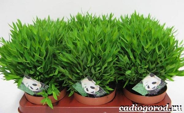 Бамбук-растение-Выращивание-бамбука-Уход-за-бамбуком-14