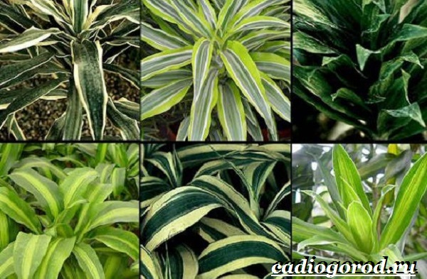 Бамбук-растение-Выращивание-бамбука-Уход-за-бамбуком-21
