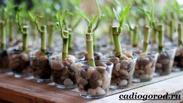 Бамбук-растение-Выращивание-бамбука-Уход-за-бамбуком-8