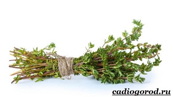 Чабрец-трава-Выращивание-чабреца-Уход-за-чабрецом-18