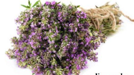 Чабрец трава. Выращивание, уход и лечебные свойства чабреца